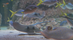 Several Stingrays Stock Footage