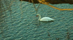 Swans in lake natural 2 swan Stock Footage