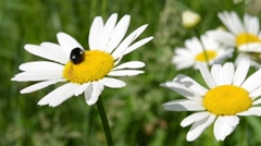 Beetle on Daisy Flower Stock Footage