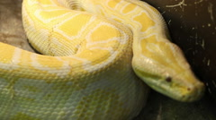 Big Burmese Python Stock Footage