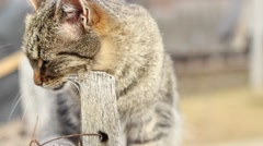 Cat Fleas Itch Stock Footage