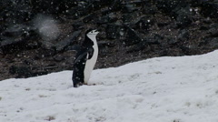 Crazy Dancing Chinstrap Penguin Stock Footage