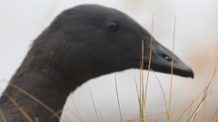Portrait black goose in the fog Stock Footage