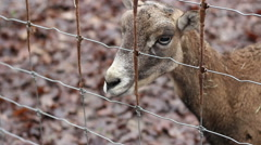 Deer at Fence - stock footage