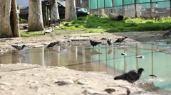 Doves Washing on Puddle of Rain Stock Footage