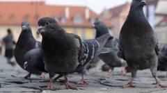 Feeding Pigeons Stir Stock Footage