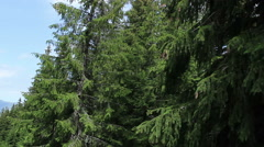 Flying Through Fir Forest Stock Footage