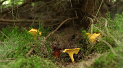 Forest Chanterelle Mushrooms Stock Footage