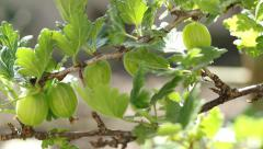 Gooseberry Stock Footage