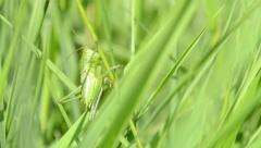 Green Grasshopper on Blade of Grass Stock Footage