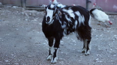 Goat in Countryside Farm Arkistovideo