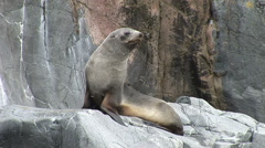 Antarctic Fur Seal on a Rock in Half Moon Bay Stock Footage
