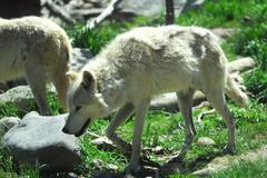 Gray wolf pair Stock Photos
