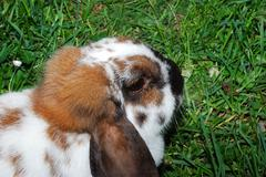 head of brown hare - stock photo