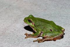 green tree frog large view Stock Photos