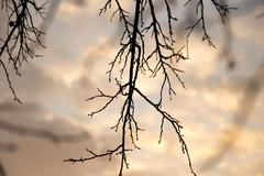 Bare tree branches against the sky at sunset Stock Photos