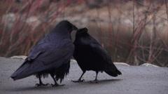 Yosemite National Park, ravens feeding Stock Footage
