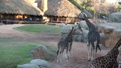 Adult giraffes and cubs walking Stock Footage