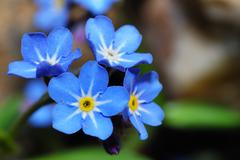 Forget-me-not large view Stock Photos