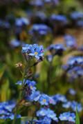 forget me not portrait format - stock photo