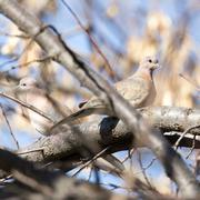 dove in nature - stock photo