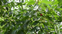 Picking Cherries Stock Footage