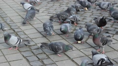 Pigeons Feed with Bread Stock Footage