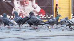 Pigeons Feeding Bustle Stock Footage