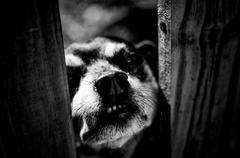 Vicious looking dog peering through fence Stock Photos