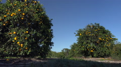 Florida citrus ripens in early morning breeze Stock Footage