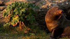 Seals at Kaikoura New Zealand Stock Footage