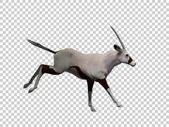 Oryx Run 03 - 3d Motion Graphics - stock footage