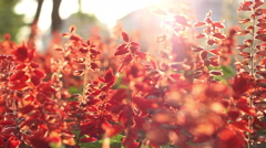 Sunny Red Flowers Stock Footage