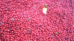 Cranberries are healthy and tasty Northern berry Stock Footage