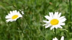 Two Daisies in Grass Field Stock Footage