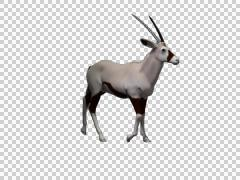 Oryx Walk 06 -  3d Motion Graphics - stock footage