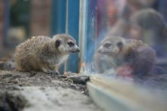 Meerkat standing watching himself in window Stock Photos