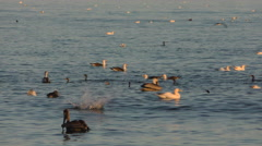 4K, Pelicans and seagull feeding fish near beach Stock Footage