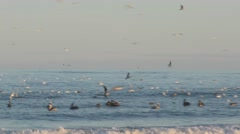 4K, Pelican and seagull hunting for fish Stock Footage