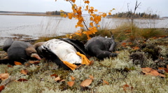 Trophies Northern hunting geese Stock Footage