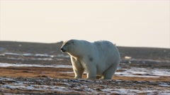 Polar bear sniff air ground walk Stock Footage