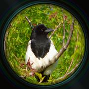 Magpie on tree branch in objective lens Stock Photos