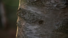 Birch bark lit by sunset Stock Footage