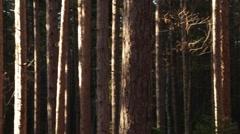 Pan across pine tree trunks Stock Footage