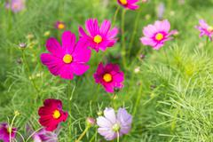 pink red cosmos flower in field - stock photo