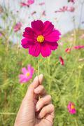 Catch the cosmos flowers Stock Photos
