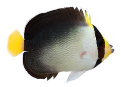 vermiculated angelfish - stock photo