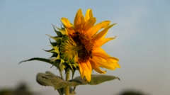 Sunflower and bee in happiness Stock Footage