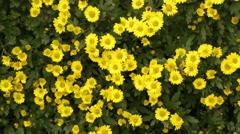 Flowerbed of yellow chrysanthemums - stock footage