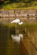 Great white egret (ardea alba) fishing Stock Photos
